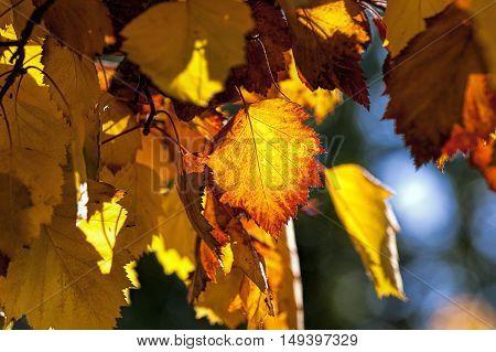 Beautiful burnt orange leaves in Cannon Hill Park in Spokane Washington.