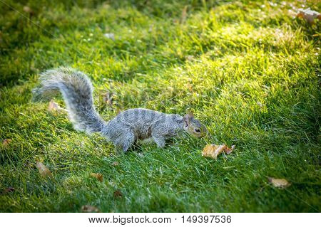 A curious squirrel searches the ground for food.