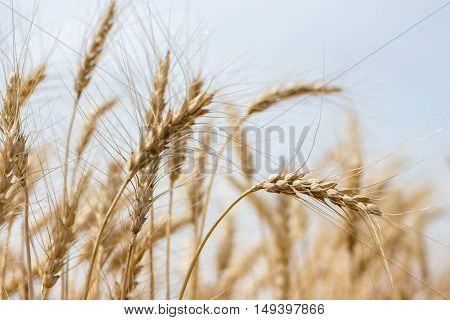 horizontal image of stalks of wheat gently blowing in the breeze under a pale blue sky in the summer time
