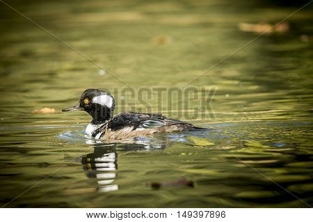 Hooded merganser swimming in pond at Canon Hill Park in Spokane Washington.