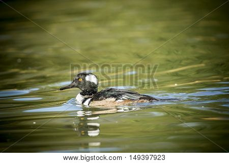 Hooded merganser in water. A male hooded merganser swims in the pond at Canon Hill Park in Spokane Washington.