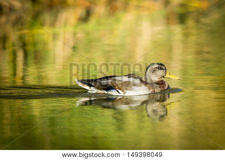 A mallard duck swims in a small pond at Cannon Hill Park in Spokane Washington.
