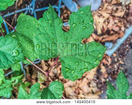 Three Pronged Leaf With Raindrops