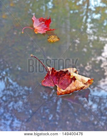 Fall. Dry red maple leaf floats on surface of lake among other leaves. Water reflects trees changing color. Image can be used as background.
