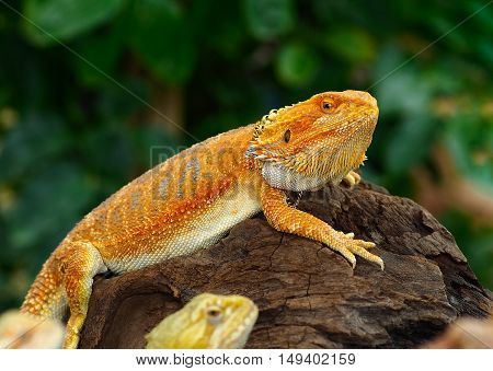 Red Bearded Dragon perched on timber in the natural habitat. close-up photos skin surface rough.