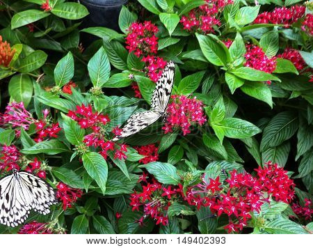 Black and white butterflies drinking nectar in magenta flowers