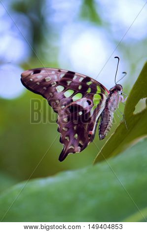 Tailed Jay Butterfly detail perching on a green leaf