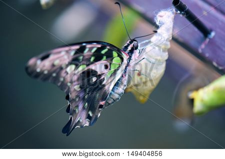 Tailed Jay Butterfly detail perching on the cocoon