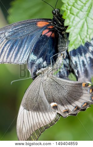 Great mormon (Papilio memnon agenor) butterflies mating or reproducing