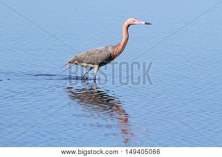 Reddish Egret (Egretta rufescens) hunting in the Florida Everglades