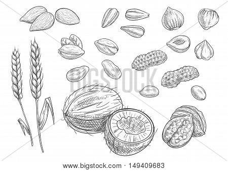 Nuts. Isolated vector coconut, almond, pistachio, sunflower seeds, peanut, hazelnut, walnut, wheat ears Black pencil sketch on white background
