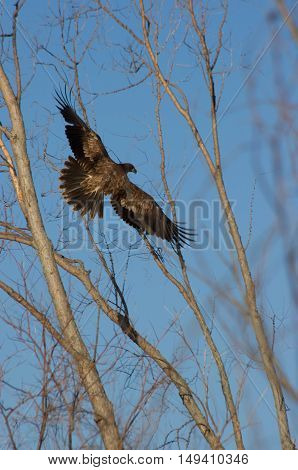 bald eagle taking off from perch in tree.