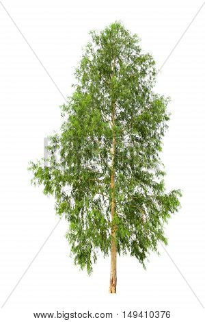 eucalyptus tree isolated on white background. Tree object for design