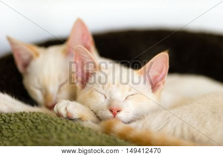 two white kitty cats having their cat nap.