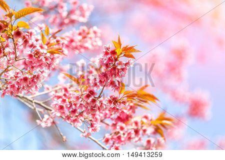Beautiful cherry blossom at Chiang Mai Thailand