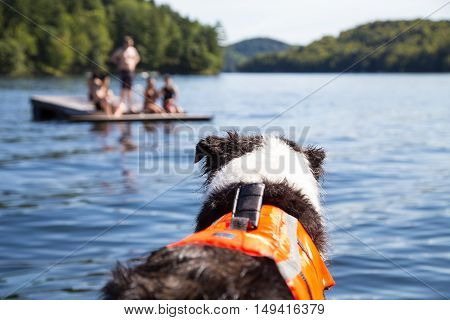 focus on dog wearing a life jacket watching swimmers on raft. Protection for aging or nervous dogs reduces stress for dog owners