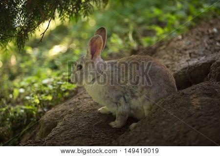 Wild rabbit in its burrow