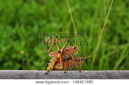 Grasshopper mating on wood with green grass in background