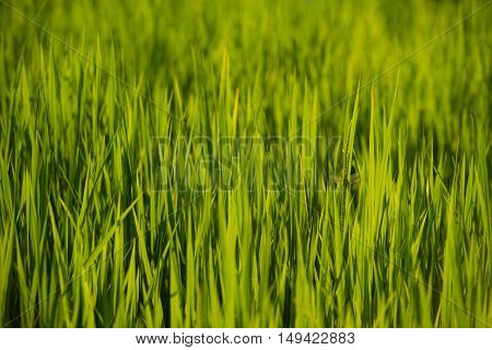 Paddy rice field and sunset with blur background