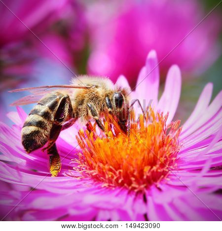 The European honey bee (Apis mellifera) pollinating of The Aster (Symphyotrichum dumosum). Very important insect for agriculture.