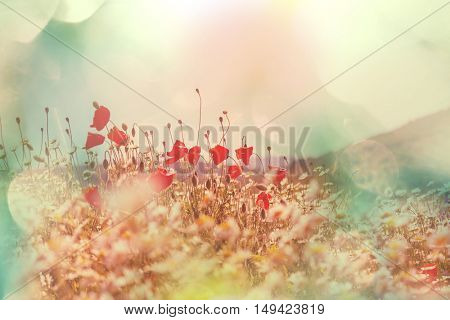 Wild red poppies on the meadow in sunny day. Decorated with light spots.