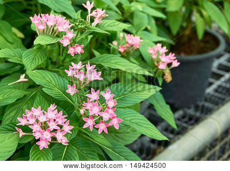 A group of tiny pink flowers, Egyptian Starcluster, in the garden