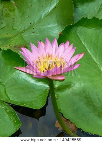 Close up picture of pink waterlily in the pond