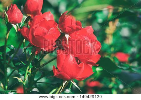 pink and red roses grow in the gardens in autumn