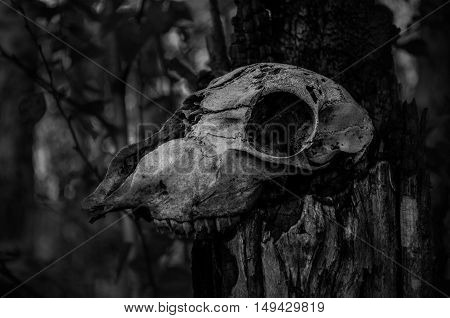 Old animal skull in the dark forest