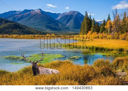 Indian summer in the Rocky Mountains of Canada.  The concept of eco-tourism. Big deer with branched antlers resting in yellow grass