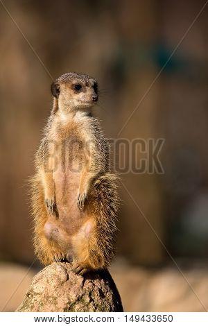 Meerkat in the wild on the stone