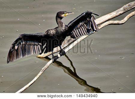 Black cormorant bird sittin on a branch