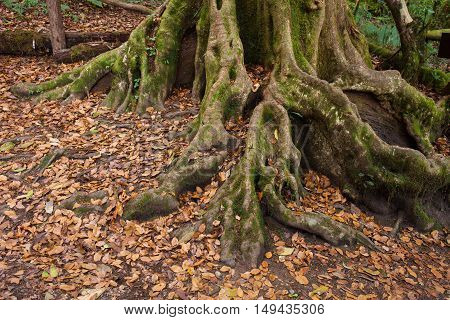 Tropical tree roots, a nature background photo
