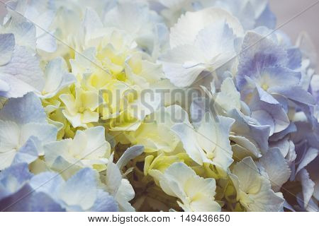 a vintage tone of Blue hydrangea flowers