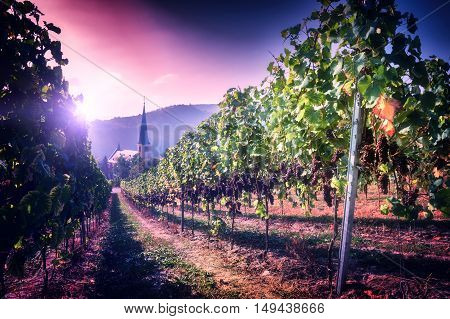 Landscape with autumn vineyards and small town church. Wine making concept