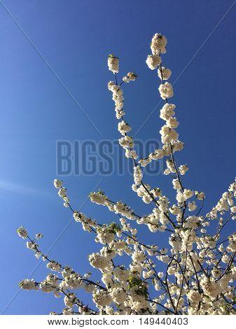 White cherry trees on a blue sky