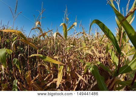 Yellow Corn Plants with blue Sky in Autumn.