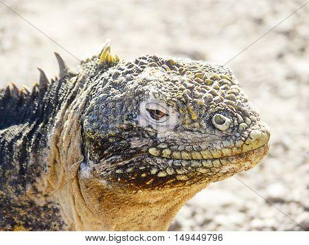 Land iguana in the Galapagos Islands (Ecuador)