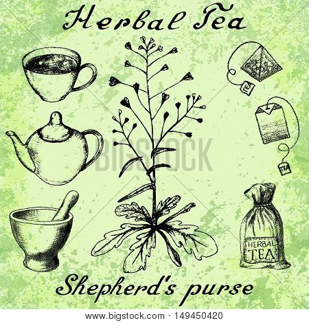 Shepherd's purse hand drawn sketch botanical illustration. Utensils for tea. Vector illustation. Medical herbs. Lettering in English and Russian languages. Grunge background
