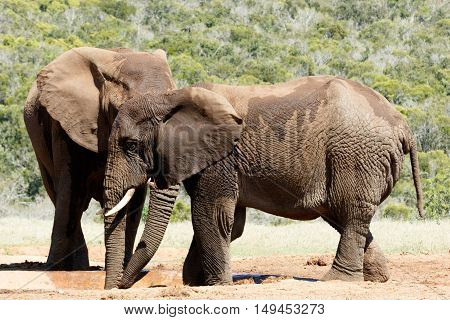 Big Elephant Hiding Behind His Brother - African Bush Elephant