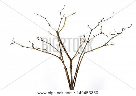 Studio Shot Of Twig Of Dry Dead Plant