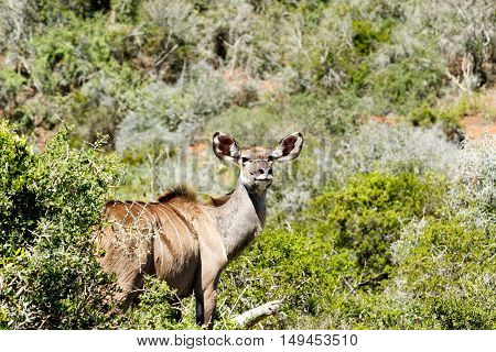 Greater Kudu Standing And Staring At The Camera