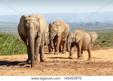 African Bush Elephant Family Gathering At The Watering Hole