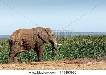 Big African Bush Elephant Frozen In Time