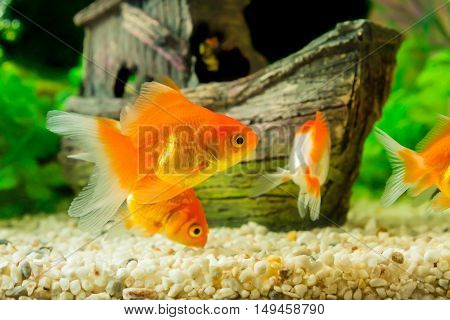 Goldfish in the aquarium with green plants