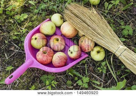 apples are collected in the scoop with a broom in a garden