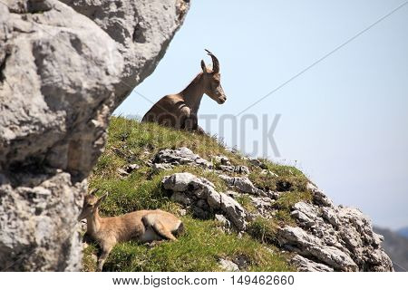 two young capricorns near rocks in bavarian alps