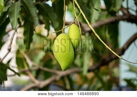 The green mango on tree in the garden