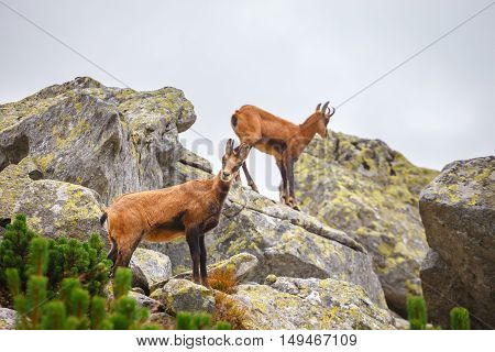 Chamois (rupicapra Carpatica) In High Tatra Mountains, Poland