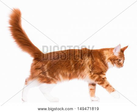 Portrait of domestic red  Maine Coon kitten - 8 months old. Cute young cat isolated on white background. Side view of a curious young orange striped kitty walking.